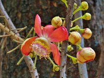 Couroupita guianensis known as Cannonball Tree Stock Photography