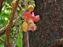 Couroupita guianensis known as Cannonball Tree Royalty Free Stock Photos