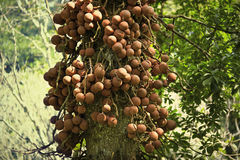 Couroupita guianensis known as cannonball tree Stock Photo