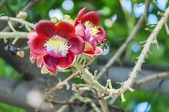 A beautiful macro shot of a flower from the unusual cannonball tree Couroupita guianensis. Couroupita guianensis, known by a variety of common names including Royalty Free Stock Images