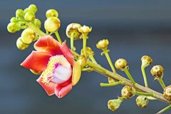 A beautiful macro shot of a flower from the unusual cannonball tree Couroupita guianensis. Couroupita guianensis, known by a variety of common names including Royalty Free Stock Photography