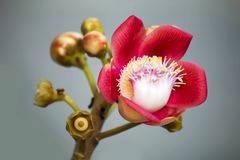 A beautiful macro shot of a flower from the unusual cannonball tree Couroupita guianensis. Couroupita guianensis, known by a variety of common names including Stock Images