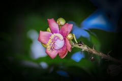 A beautiful macro shot of a flower from the unusual cannonball tree Couroupita guianensis. Couroupita guianensis, known by a variety of common names including Royalty Free Stock Photo