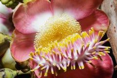 Couroupita guianensis Stock Image