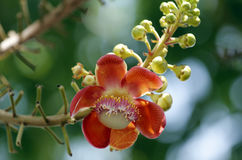 Couroupita guianensis (Sal Tree) Stock Photos