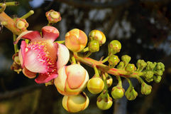 Beautiful cannonball flower ,Couroupita guianensis Royalty Free Stock Images