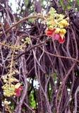 Couroupita guianensis royalty free stock photography