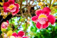 Couroupita kwiat Zdjęcia Royalty Free
