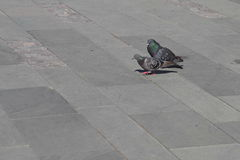 Cours de pigeon Photo libre de droits