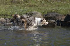 Course australienne de deux chiens de berger Photo stock