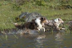 Course australienne de deux chiens de berger Images libres de droits