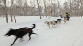 Course Beringia, tasse russe de traîneau de chien du Kamtchatka de disciplines de neige de course de chien de traîneau banque de vidéos