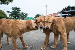 Course de ‹d'†de ‹d'†de chien de jouet de golden retriever Image libre de droits