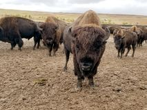Course de Buffalo, Custer, le Dakota du Sud image stock