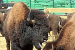 Course de Buffalo, Custer, le Dakota du Sud photo stock