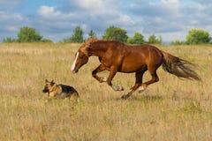 Course de cheval et de chien image libre de droits
