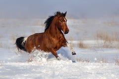 Course de cheval de Pinto dans le domaine d'hiver image stock