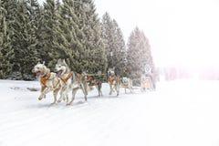Course de chien de traîneau sur la neige en hiver photographie stock libre de droits