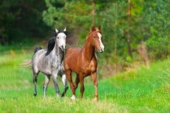 Course de deux chevaux photo libre de droits