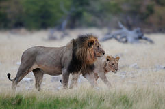 Course de deux lions Photos stock
