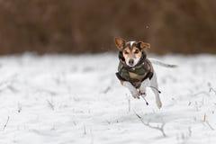 Course de Jack Russell Terrier au-dessus d'un pré couvert de neige et avoir un manteau à protéger contre le froid photographie stock libre de droits