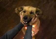 Course de port de sourire très mignonne de guirlande et de mains de chien pelucheux de Noël Photographie stock libre de droits