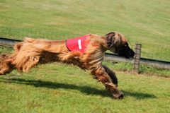 Course de Sighthound photographie stock