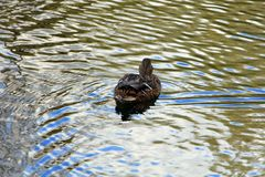Duck busy with his business royalty free stock image