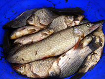 Course fish. Including Pike and Crucian Carp in keepnet Stock Photography