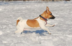 Course Jack Russel terrier Royalty Free Stock Images