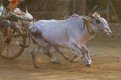 Course traditionnelle de chariot de Bullock photos libres de droits