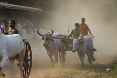 Course traditionnelle de chariot de Bullock Photos stock