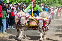 Course traditionnelle de vache à Bali Image stock
