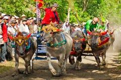 Course traditionnelle de vache à Bali Image libre de droits