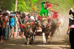 Course traditionnelle de vache à Bali Photographie stock