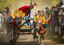 Course traditionnelle de vache à Bali Photos stock