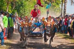 Course traditionnelle de vache à Bali Photo libre de droits