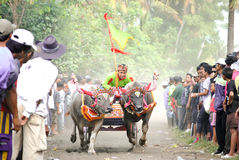 Course traditionnelle de vache à Bali photos stock