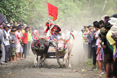 Course traditionnelle de vache à Bali photo libre de droits