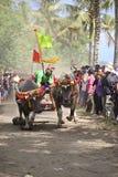 Course traditionnelle de vache à Bali Images libres de droits