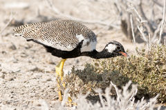 Courser bird on the search for food Royalty Free Stock Images