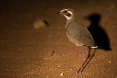 courser Bronce-con alas en la noche que busca insectos en proyector Fotos de archivo