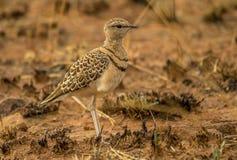 courser Doble-congregado un pájaro en el paisaje surafricano fotos de archivo