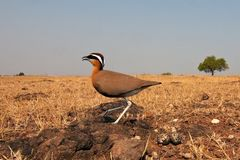 Courser indien image stock