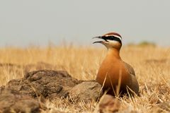 Courser indien photos stock