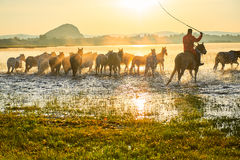 The coursers and herd Royalty Free Stock Image