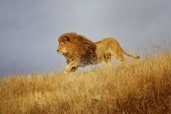 Courses africaines d'un lion par l'herbe Photographie stock
