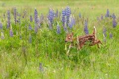 Courses Blanc-coupées la queue de virginianus de Fawn Odocoileus de cerfs communs après le lupin Photographie stock libre de droits
