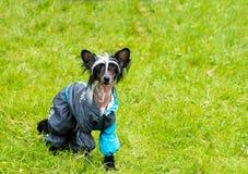 Courses crêtées chinoises de chien Images libres de droits