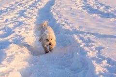 Courses de Havaneser dans la neige Photo libre de droits